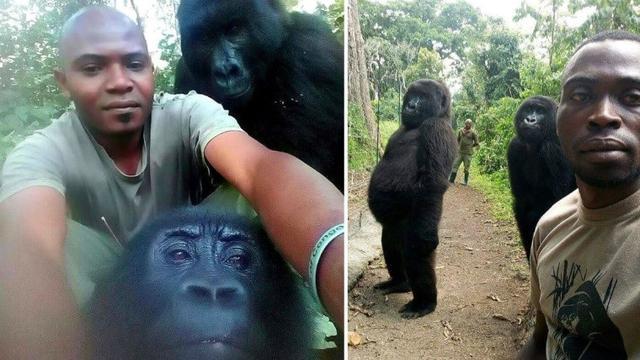 gorila bergaya seperti manusia saat selfie