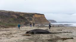 Pengunjung melintas dekat gajah laut jantan yang sedang beristirahat di atas pasir Pantai Drakes di California pada Jumat (13/12/2019). Gajah laut memang senang menghabiskan waktu di pantai setelah berburu makanan di laut. (Photo by Philip Pacheco / AFP)