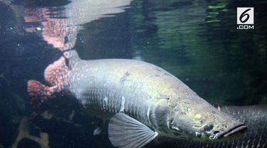 Masudin, warga Jombang mengaku memelihara lima ekor ikan arapaima. Ikan air tawar terbesar di dunia itu telah ia rawat sejak tahun 2013.
