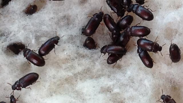 manfaatnya semut jepang vs diabetes