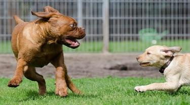 Lansia Dikoyak Empat Ekor Anjing