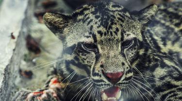 Bila Macan Dahan Terluka Bikin Khawatir Warga Satu Desa