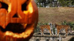 Sebuah labu khas Halloween berada di dekat kandang harimau di Kebun Binatang Zoom Torino, Turin, Italia, Jumat (28/10). Tingkah unik diperlihatkan sejumlah hewan saat diberikan labu kepada mereka. (AFP PHOTO/Marco Bertorello)
