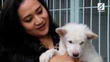 Indonesia ternyata memiliki ras anjing yang berasal dari Bali, namanya anjing ras kintamani.