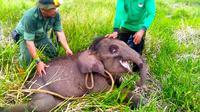 Anak gajah terjerat yang diselamatkan BBKSDA Riau untuk dibawa ke pusat latihan gajah Minas. (Liputan6.com/M Syukur)