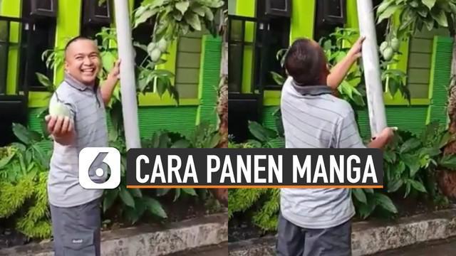 Memanen mangga adalah hal yang sangat menyenangkan bagi pemiliknya. Seperti dilakukan seorang pria ini memanen mangga dengan cara kreatif.