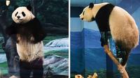 Seekor panda di kebun binatang memperagakan kelincahan yang serupa dengan laga Kung Fu Panda.