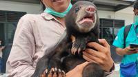 Anakan Beruang Madu yang berusia 4 bulan, ditemukan di kawasan konservasi di Kabupaten Ogan Komering Ilir (OKI) Sumsel, diserahkan ke BKSDA Sumsel (Liputan6.com / Nefri Inge)