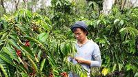 Aktivitas petani kopi di Kota Pagar Alam Sumsel (Liputan6.com / Nefri Inge)