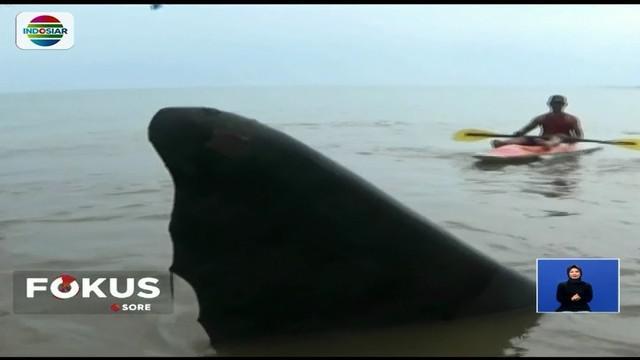 Selain itu, warga juga berusaha mengembalikan paus tersebut ke laut dan saat ini belum diketahui penyebab terdamparnya mamalia terbesar di dunia.