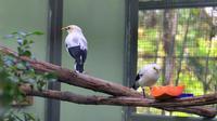 Jalak putih, salah satu jenis burung yang akan dipasangi microchip, hasil penangkaran TSI. (Liputan6.com/Achmad Sudarno)