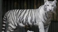 Harimau putih.  (Petr David Josek/AP)