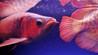 Ikan Arwana merupakan salah satu ikan purba yang belum punah. Diperkirakan telah hidup sejak 220   juta tahun yang lalu. Arwana masih banyak ditemukan di Pulau Kalimantan. (AFP Photo/Adek Berry)
