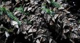 Sekelompok kupu-kupu raja menyelimuti cabang-cabang di suaka Amanalco de Becerra, Meksiko, 14 Februari 2019. Ratusan kupu-kupu ini menempuh perjalanan sekitar 2.500 mil dari Kanada dan AS untuk mencapai negara bagian Meksiko tengah. (AP/Marco Ugarte)