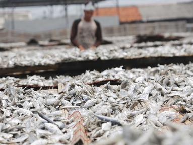 Ikan asin saat dijemur di Muara Angke, Jakarta, Rabu  (13/9). Produksi ikan asin yang merupakan salah satu usaha rumah tangga nelayan di daerah tersebut mengalami peningkatan hingga 50 persen saat musim kemarau. (Liputan6.com/Angga Yuniar)