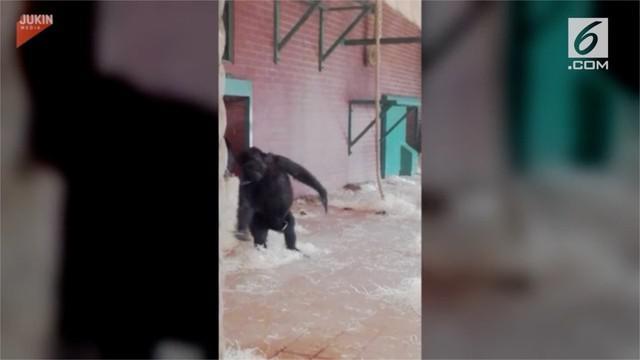 Video bayi gorila menari balet terekam kamera pengujung.