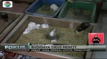 Pria asal Palembang ini berhasil budidayakan tikus mencit dengan keuntungan hingga Rp 5 juta per hari. Lho, kok bisa ya?