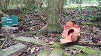 Rafflesia Patma mekar di Kebun Raya Bogor. (Liputan6.com/ Achmad Sudarno)