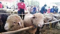 Domba Batur dalam kontes domba di Dieng Culture Festival. ( Foto: Liputan6.com/Muhamad Ridlo).