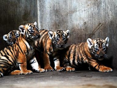 Anak-anak harimau China Selatan terlihat di Kebun Binatang Shanghai di Shanghai, China timur (28/8/2020). Kebun Binatang Shanghai meluncurkan kampanye publik untuk memberikan nama kepada keempat anak harimau betina yang lahir pada 4 Juli 2020 tersebut. (Xinhua/Zhang Jiansong)