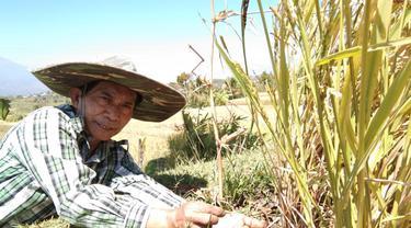 Salah seorang petani kampung Panawuan Garut, menunjukan bekas serangan hama ulat batang pada tumbuhan mereka