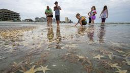 Orang-orang bermain dengan bintang laut yang terdampar di Garden City Beach, South Carolina, Amerika Serikat, Senin (29/6/2020). Kehadiran ribuan bintang laut yang terdampar menyita perhatian warga serta wisatawan untuk mengembalikan mereka ke laut. (Jason Lee/The Sun News via AP)