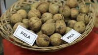 Buah pala (Myristica fragrans), salah satu rempah yang mengharuskan Belanda menguasai Indonesia. (foto : Liputan6.com/relawan rempah/edhie prayitno ige)