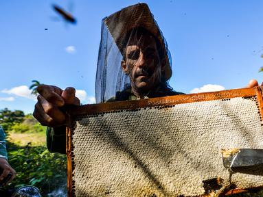 Peternak mengumpulkan madu dari sarang lebah di sebuah peternakan di Navajas, Matanzas, Kuba, 21 Maret 2019. Lebah di pegunungan Matanzas menghasilkan madu berkualitas tinggi. (YAMIL LAGE/AFP)