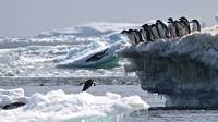 Dua ekor penguin melompat ke dalam laut di Pulau Heroina, Danger Islands, Antartika (2/3). (Rachael Herman / Stony Brook University / AFP)