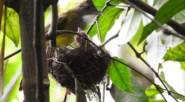Sarang burung di Jatimulyo