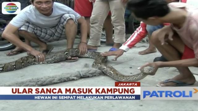 Ular sanca kembang sepanjang 5 meter masuk salah satu rumah warga di Kampung Pademangan, Jakarta Utara.