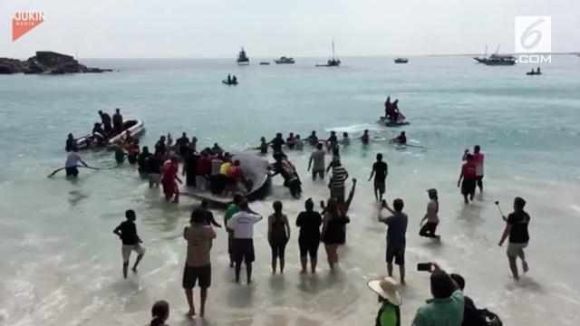 Bayi ikan paus bungkuk terdampar di pantai Rio de Janeiro. Pengunjung pantai beramai-ramai mengembalikan paus ke laut.