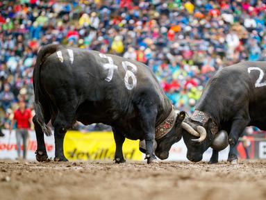 Dua ekor sapi Herens saling mengunci tanduk mereka saat bertanding pada babak kualifikasi finale nationale de la race d'Herens di Aproz, Swiss, Minggu (5/5/2019). Acara ini digelar setiap tahun. (Valentin Flauraud/Keystone via AP)
