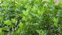 Tanaman herbal sebenarnya gampang tumbuh disekitar kita. Beberapa tumbuhan tersebut sangat bermanfaat untuk menghilangkan bau badan.