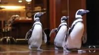Tiga penguin mengunjungi Restoran Shaw's Crab House. (dok. Instagram @shellyformshaws/ https://www.instagram.com/tv/CM2SOKjhyhQ/?igshid=6jyq56bhp52h / Melia Setiawati)