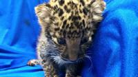 Seekor bayi macan tutul yang diselundupkan dari Thailand ke India (AFP)