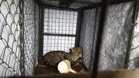 Pemilik rumah sebelumnya mendengar keributan di halaman rumahnya malam-malam. Saat dicek, ia melihat sesosok macan tutul Jawa bersembunyi di kolong rumah. (Liputan6.com/Mulvi Mohammad)