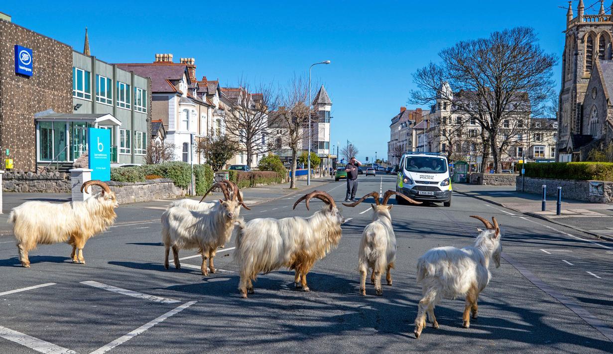 Kawanan kambing berjalan di jalan-jalan yang sepi di Llandudno, Wales utara, Selasa (31/3/2020). Kambing-kambing liar tersebut berkeliaran di jalanan kota yang tampak lengang selama pemberlakuan lockdown dalam upaya membatasi penyebaran virus corona di Kawasan tersebut. (Pete Byrne/PA via AP)