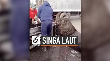 Singa laut berukuran besar tiba-tiba mendekati manusia yang tengah berjualan ikan di pesisir pantai Amerika Selatan. Tujuannya agar diberikan ikan oleh para penjual.