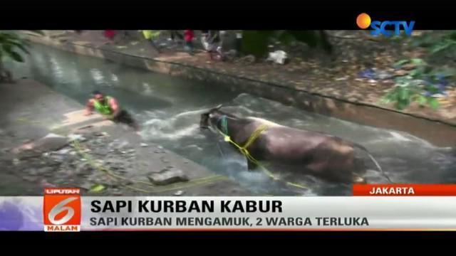 Seekor sapi jantan yang sedianya akan dijadikan hewan kurban saat Idul Adha mengamuk di Jalan Karanglo Raya, Pedurungan, Semarang, Jateng.