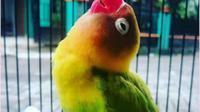 Simak tren warna burung legenda di Indonesia. (dok.Instagram/@anglbf_jbr/https://www.instagram.com/p/BqccnBAFboI//Asnida Riani)