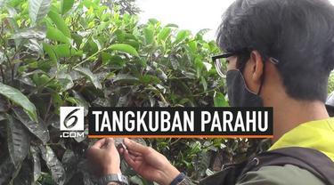 Kebun Teh di Kawasan Parongpong, Bandung Barat ditutupi abu vulkanik dari erupsi Gunung Tangkuban Parahu.