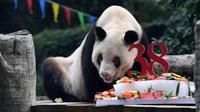 "Panda raksasa Xinxing menikmati kue ulang tahun spesialnya di Kebun Binatang Chongqing di Kota Chongqing, China pada 16 Agustus 2020. ""Nenek panda"" yang menjadi bintang di kebun binatang itu pada Minggu (16/8) berulang tahun ke-38, setara usia 110-150 tahun pada manusia. (Xinhua/Tang Yi)"