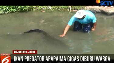 Sebelumnya, upaya warga untuk menangkap ikan ini menggunakan jaring, gagal akibat jaring jebol dan ikan berhasil lolos.