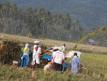 Hiruk-pikuk Petani Gorontalo Sambut Musim Panen dengan Bergotong royong