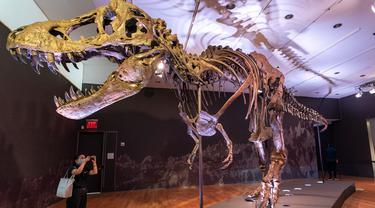 Kerangka Stan, salah satu fosil Tyrannosaurus rex atau T-Rex terbesar dan terlengkap yang ditemukan, dipajang di rumah lelang Christie di New York, 15 September 2020. Kerangka berusia sekitar 67 juta tahun tersebut diperkirakan akan terjual dengan harga USD 6 juta-USD 8 juta, atau setara Rp88 miliar