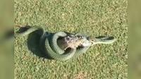 Dalam waktu lima menit, ular berbisa itu dapat membunuh iguana (Capture/Universal Media Online)