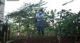 Pungki (53) merawat tanaman perkebunan di kolong Tol Becakayu, Kalimalang, Jakarta, Kamis (4/6/2020). Sudah dua tahun Pungki dibantu dua temannya membuat perkebunan secara swadaya di kolong Tol Becakayu dengan harapan mampu mengurangi polusi. (merdeka.com/Iqbal S. Nugroho)