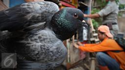 Seekor burung merpati dirazia petugas dalam operasi penertiban unggas di bantaran Kali Ciliwung, Senen, Jakarta, Rabu (18/11). Penertiban dilakukan untuk mencegah penyebaran virus flu burung. (Liputan6.com/Immanuel Antonius)
