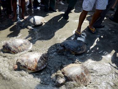 Sejumlah kura-kura hijau dilepaskan di pantai Kuta di pulau Bali (27/3). Sekitar 18 kura-kura hijau diburu untuk diambil dagingnya dan dilepaskan kembali ke laut setelah polisi menangkap pelaku di Kabupaten Gianyar pada 13 Maret. (AFP Photo/Sonny Tumbelaka)